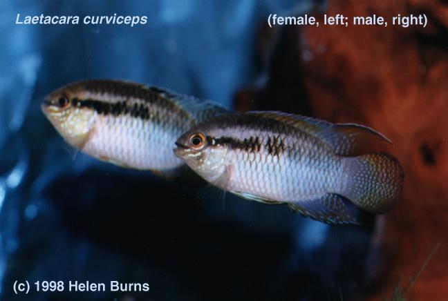 Go Back > Gallery For > Curviceps Cichlid