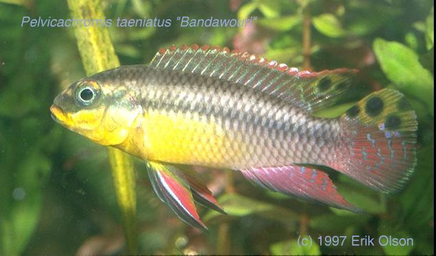 Pelvicachromis taeniatusPelvicachromis Taeniatus Wouri