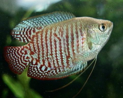 Animals World: wallpapers of animal gouramis fishes collection