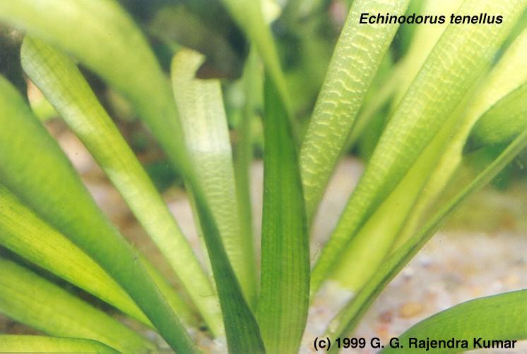 E-tenellus-folia-raj.jpg